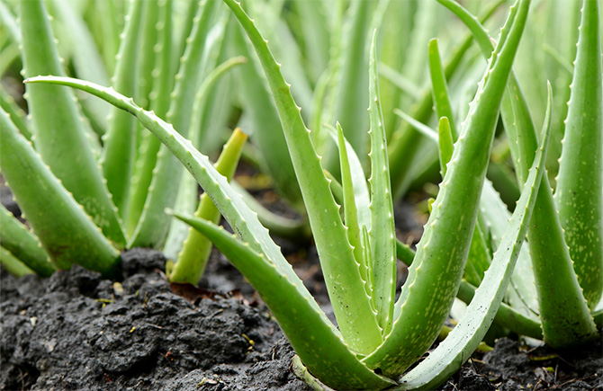 Aloe Vera has become big business